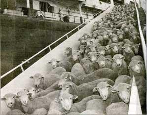 Sacred Cows + Siege Mentality = Sheeple